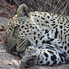 Sabi Sabi - Sleeping Leopard by Samantha Bailey