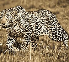 Leopard on the Prowl by Jill Fisher