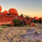 Dingo Poser by Adam Gormley