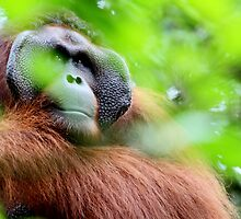 People of the Forest - Orang Utans by Adam Martin