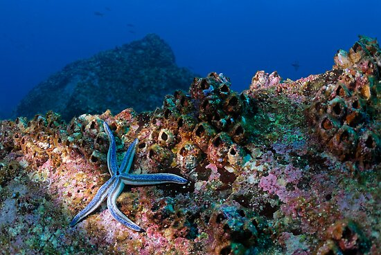 Blue starfish on rock (phataria unifascialis), underwater view, Ecuador, Galapagos Archipelago, Espanola Island by Sami Sarkis