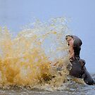 Hippo splashing water (Hippopotamus amphibius), Kruger National Park, South Africa by Sami Sarkis