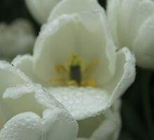 Rain drops on White Tulips by ©Josephine Caruana