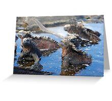 Group of Marine Iguana (Amblyrhynchus cristatus) bathing in the water, Ecuador, Galapagos Archipelago, Isabela Island. Greeting Card