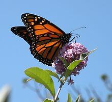 Last Year's Monarch by Trish Meyer