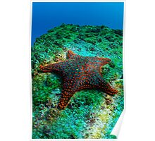 Panamic Cushion Star (Pentaceraster cumingi) on rock, underwater view, Ecuador, Galapagos Archipelago, Espanola Island Poster