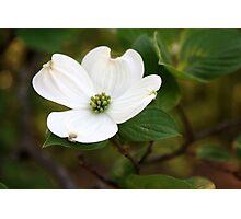 One Dogwood Bloom Photographic Print