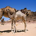 Camels (Camelus dromedarius sp.) with calves in Sinai Desert, Egypt by Sami Sarkis