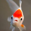 Goldfish by UrbanDog