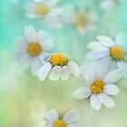 dainty daisies by Teresa Pople