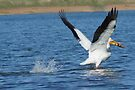 Pelican In Flight by Betsy  Seeton