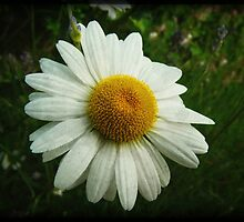 My Daisy Better Be Sunny by Denise Abé