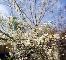 Flowering Plum by Nigel Donald