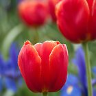 Tulip 1 (iP4) by Werner Padarin