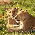 Sleeping Lionesses by evilcat