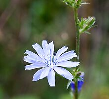 Chicory - iPhone by PhotosByHealy