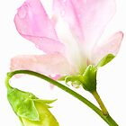 Sweet Pea 'Geranium Pink' by Anne Gilbert