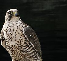 Prairie Falcon by Tracy Friesen