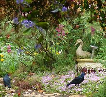Two male satin bower birds out the back. by Marilyn Baldey