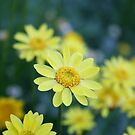 Yellow Spring Daisies by Melissa Park