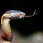 golden crown snake by fishnrobo