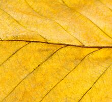Golden Beech Leaf by Anne Gilbert
