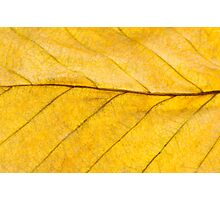 Golden Beech Leaf Photographic Print