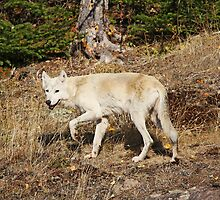 My First Timber Wolf2 by Vickie Emms