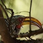 yellow billed hornbill by Martina  Stoecker