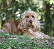 An English Golden Cocker Spaniel by Robyn J. Blackford by aussiebushstick