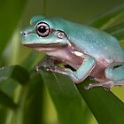 Litoria caerula by AngiNelson