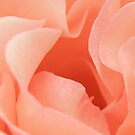 Apricot Rose by CapturedByKylie
