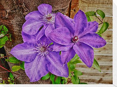 Clematis Trio by PollyBrown