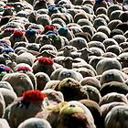 Flock Of Sheep Leaving Esperou Village For  Transhumance, France Provence  by Sami Sarkis