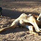 Kangaroo by LESLEY B