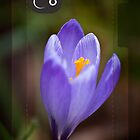 Crocus by Trevor Kersley