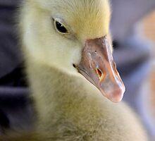 Little Gosling by Deborah Clearwater