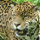 Jaguar by sbarnesphotos