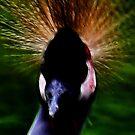 peacock by Heike Nagel