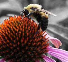 Bee On Coneflower by Sam Warner