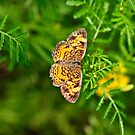 Variegated Fritillary by SuzOH