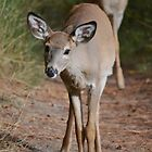 Curious white-tailed deer by Kate Farkas