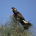 Yellow-tailed Black Cockatoo by mosaicavenues