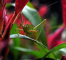 Green Speckled Bush Cricket by Hugh Coleman