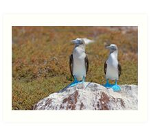 Two Blue-footed Boobies on a rock Art Print