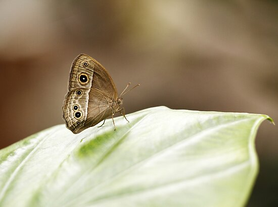 Owl Butterfly by Photo Scotland
