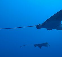 Two Spotted Eagle rays (Aetobatus narinari), underwater view by Sami Sarkis