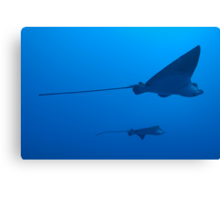 Two Spotted Eagle rays (Aetobatus narinari), underwater view Canvas Print