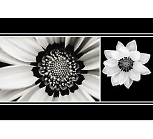 Black and White Gazania Diptych Photographic Print