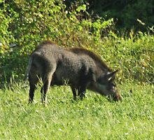 WILD BORE HOG by TomBaumker